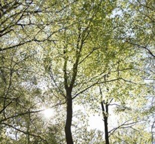 Trädtoppar i bokskog