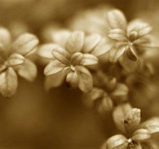 Sepiabrun bild av lingonris.