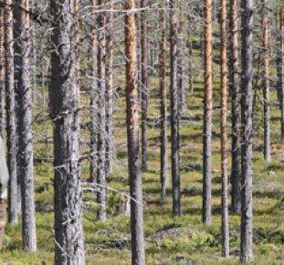 En skogsägare funderar på gallring i tallskog.