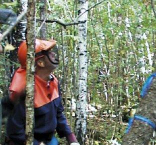 Två män i sågskyddskläder ser på när träd fälls