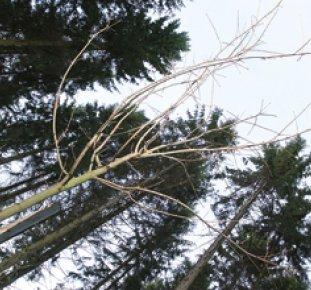 Trädkronor