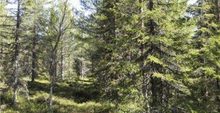 Perfekt skog för lavskrika. Foto: Matts Bildström/SKOGENbild