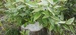 Stubbskott växer bra. Redan efter fem år har har de vuxit till mindre träd. Foto: Birger Hjelm