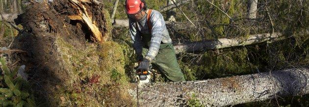 Upparbetning av stormfälld skog efter Gudrun