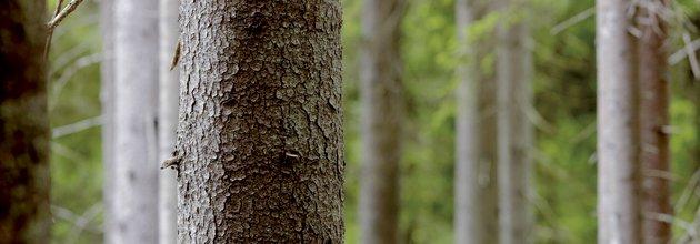 Granstammar i skog