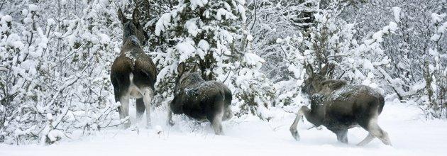 Tre älgar springer i snön mot skogen