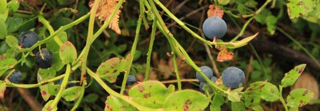 ekosystemtjänster, skogsbär