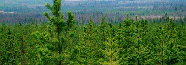 Ungskog med contorta
