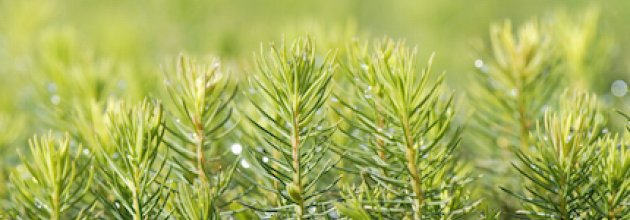 skogsplantor