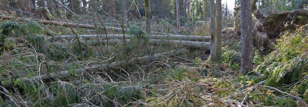 stormskadad skog