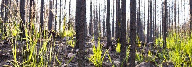 SKOGEN, skogsbränder