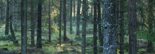 gallringsskog