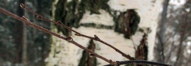 skogsforskning, trädknoppar, träd i vintervila, SLU