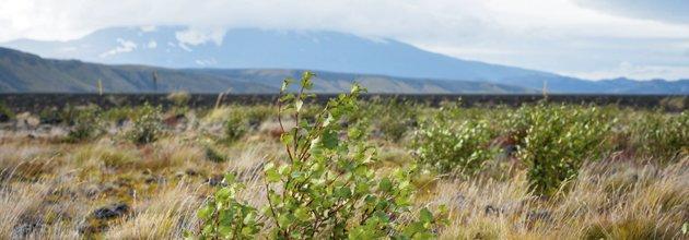 Björkplantor, i bakgrunden skymtar vulkanen Hekla.