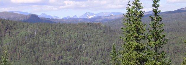 Nästan tre fjärdedelar av Jokkmokks kommuns yta är skyddad. Här fjällnära skog vid Årrenjarka.