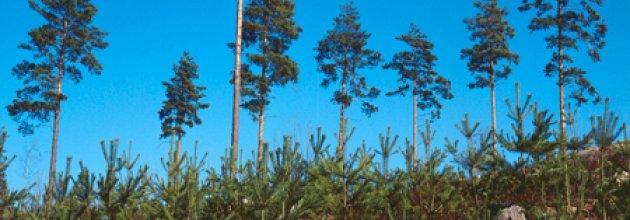 Plantor under frötallar. Foto: Bo-Göran Backström/SKOGENbild