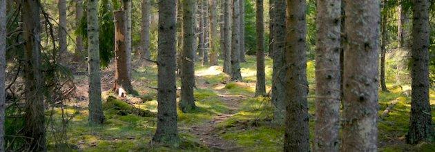 """Mer gallring kan ge större andel strövvänlig """"finskog"""". Men då måste skogsägareföreningar, skogsbolag och Skogsstyrelsen ta tag i frågan."""