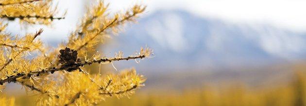 Sibirisk lärk i höstfärger
