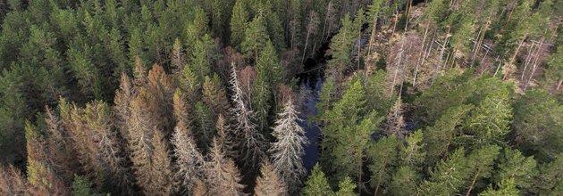 Granbarkborreangripen skog