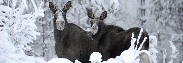 Två älgar i vinterlandskap