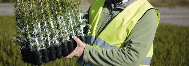 Granplantor behandlade med skyddet Cambiguard. Foto:Södra